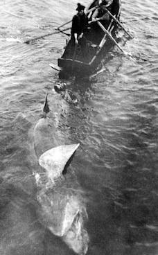 bask shark